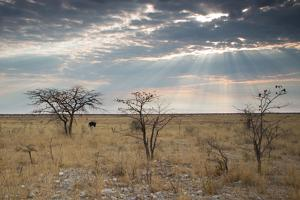 An Ostrich at Sunrise in Etosha National Park by Alex Saberi