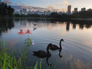 Black Swans, Cygnus Atratus, at Sunrise in Ibirapuera Park by Alex Saberi