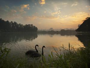 Black Swans Glide on the Lake at Ibirapuera Park in Sao Paulo at Sunrise by Alex Saberi