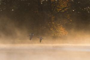 Canada Geese, Branta Canadensis, Fly over Pen Ponds in Richmond Park in Autumn by Alex Saberi