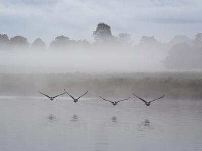 Canada Geese Fly Over Pen Ponds in Winter