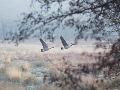 Canada Geese Flying Though a Wintery Richmond Park by Alex Saberi