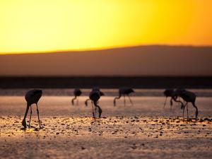 Chilean Flamingos on the Laguna Chaxa by Alex Saberi