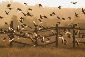 Common Starlings, Sturnus Vulgaris, Fly in a Clearing in Autumn by Alex Saberi