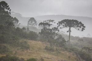Coniferous Araucaria Pine Trees in the Rain in Santa Catarina, Brazil by Alex Saberi