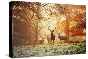 Four Red Deer, Cervus Elaphus, in the Forest in Autumn by Alex Saberi