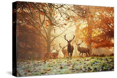 Four Red Deer, Cervus Elaphus, in the Forest in Autumn by Alex Saberi