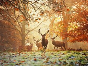 Four Red Deer in the Autumn Forest by Alex Saberi