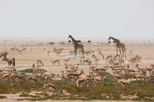 Giraffes, Springbok, Oryx Among Others in Etosha National Park, Namibia, by a Watering Hole by Alex Saberi