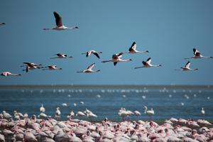Greater Flamingos in Flight Near Walvis Bay, Namibia by Alex Saberi