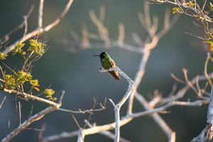 Hooded Visorbearer Hummingbird Resting on a Branch in Chapada Diamantina by Alex Saberi