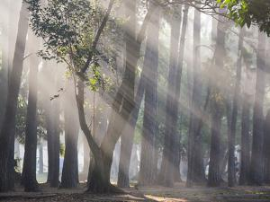 Ibirapuera park's trees in the mist, with light rays by Alex Saberi