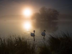 Mute Swans, Cygnus Olor, on a Misty Pond in Richmond Park at Sunrise by Alex Saberi