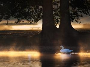 Mute Swans, Cygnus Olor, Swim in the Golden Morning Mist by Alex Saberi