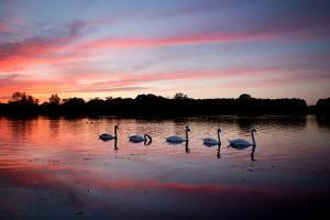 Mute Swans, Cygnus Olor, Swim on Pen Ponds at Sunset in Richmond Park by Alex Saberi