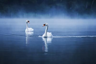 Mute Swans, Cygnus Olor, Swimming in the Morning Mist