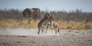 Plains Zebras, Equus Quagga, Fighting, with an Elephant in the Background by Alex Saberi