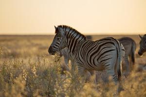 Plains Zebras, Equus Quagga, Stand in Tall Grassland at Sunset by Alex Saberi