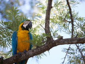 Portrait of a Blue and Yellow Macaw Sitting on a Tree Branch in Bonito, Brazil by Alex Saberi