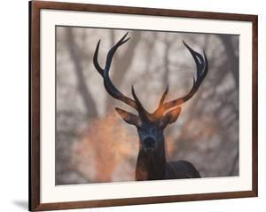 Portrait of a Red Deer Buck, Cervus Elaphus, in Winter by Alex Saberi