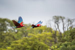 Red-And-Green-Macaws Fly Past the Buraco Das Araras by Alex Saberi