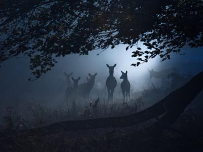 Red Deer, Cervus Elaphus, Gathering on a Misty Morning by Alex Saberi