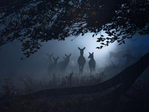 Red Deer, Cervus Elaphus, Gathering on a Misty Morning by Alex Saberi