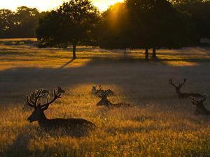 Red Deer, Cervus Elaphus, Resting on a Summer Evening by Alex Saberi