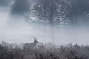 Red Deer Stag Makes His Way Through a Misty Landscape in Richmond Park by Alex Saberi