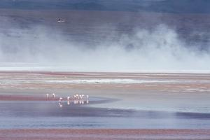Salt Dust Shrouds James' Flamingos Foraging in Laguna Colorada by Alex Saberi
