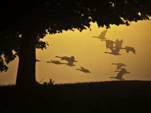Silhouetted Canada Geese, Branta Canadensis, in Flight by Alex Saberi