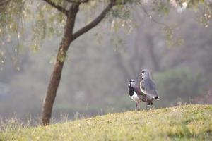 Southern Lapwings, Vanellus Chilensis, in Ibirapueara Park, Sao Paulo by Alex Saberi