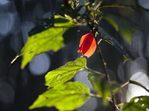 Sunlight on Malvaviscus Arboreus, a Hibiscus Plant by Alex Saberi