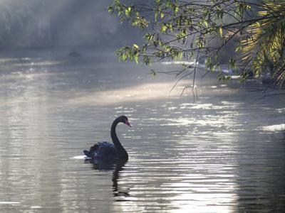 Sunrise on a Misty Lake in Ibirapuera Park with a Black Swan