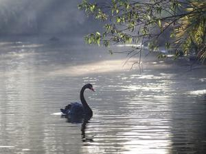Sunrise on a Misty Lake in Ibirapuera Park with a Black Swan by Alex Saberi