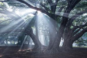 The Sun's Rays Shine Through Trees in Mist in Ibirapuera Park by Alex Saberi