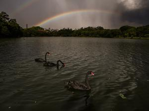 Three Black Swans on a Lake During a Storm in Ibirapuera Park, Sao Paulo, Brazil by Alex Saberi