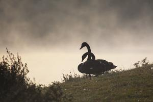 Two Black Swans Wait by the Lakeside on a Misty Morning by Alex Saberi