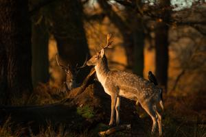 Two Fallow Deer, Cervus Elaphus, in London's Richmond Park by Alex Saberi