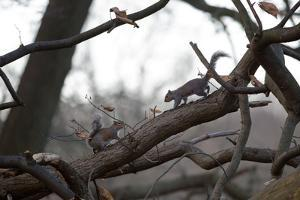 Two Gray Squirrels Meet Face to Face on a Fallen Tree Branch on a Winter Morning by Alex Saberi