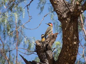 Two Green Barred Woodpeckers Perching in a Tree by Alex Saberi