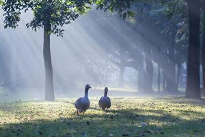 Two Grey Geese Run Though the Early Morning Mists of Ibirapuera Park by Alex Saberi