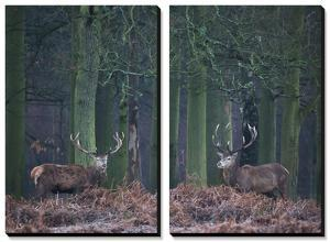 Two Large Deer Stags Stand their Ground in Forest in Winter by Alex Saberi