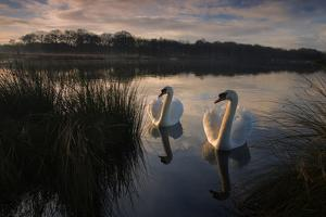 Two Mute Swan, Cygnus Olor, on a Lake in London's Richmond Park by Alex Saberi