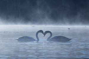 Two Mute Swans in Love, Cygnus Olor, Swim in a Pond in Richmond Park at Sunrise by Alex Saberi