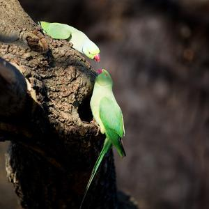 Two Ring-Necked Parakeets Make Contact on the Trunk of a Oak Tree by Alex Saberi
