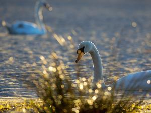 Two Swans Swim on a Pond in Richmond Park on a Sunny Morning by Alex Saberi
