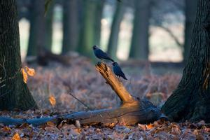 Two Western Jackdaws on a Branch on a Cold Winter Morning by Alex Saberi