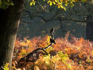 Western Jackdaws, Corvus Monedula, Resting in a Branch in Autumn by Alex Saberi