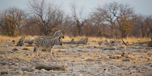 Zebras at Sunrise by Alex Saberi